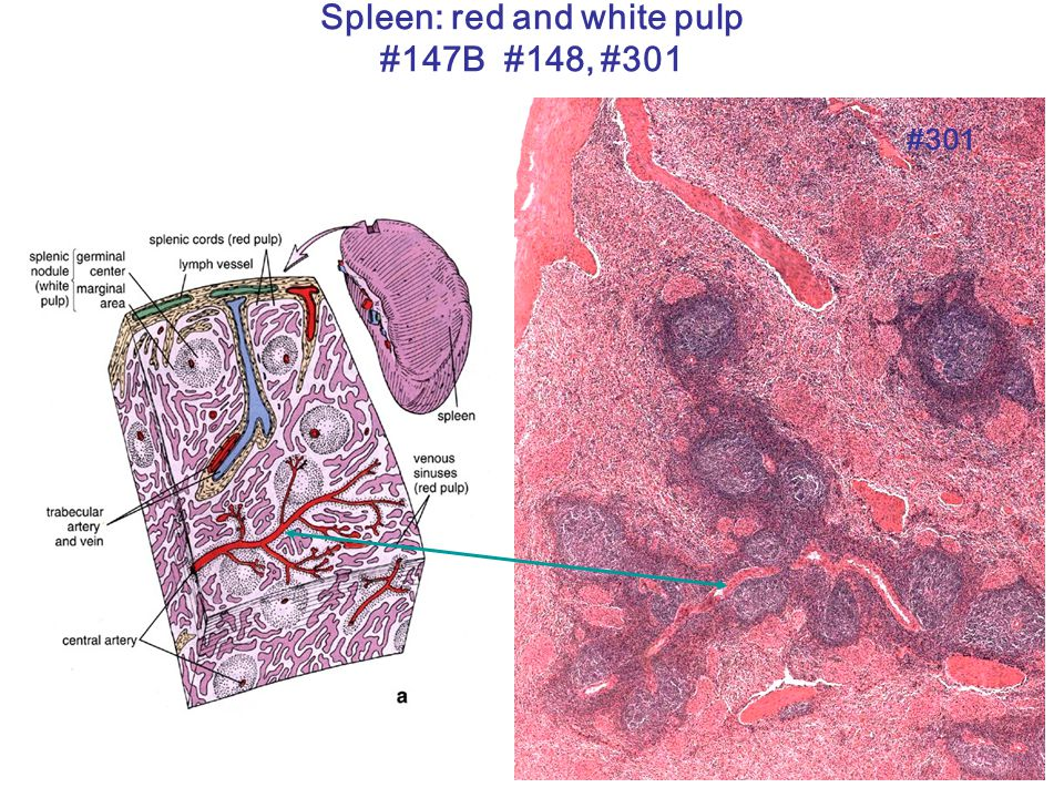 Spleen: red and white pulp #147B #148, #301 #301