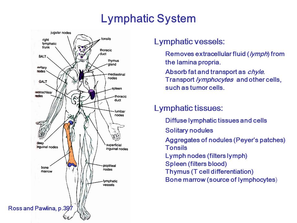 Lymphatic System Lymphatic vessels: Removes extracellular fluid (lymph) from the lamina propria.