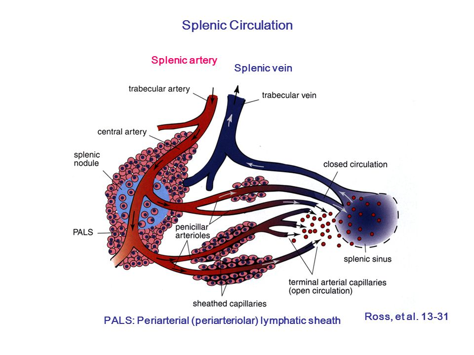 Splenic Circulation Splenic artery Splenic vein PALS: Periarterial (periarteriolar) lymphatic sheath Ross, et al.