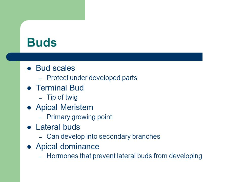 Buds Bud scales – Protect under developed parts Terminal Bud – Tip of twig Apical Meristem – Primary growing point Lateral buds – Can develop into secondary branches Apical dominance – Hormones that prevent lateral buds from developing