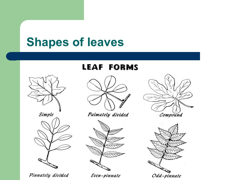 Shapes of leaves