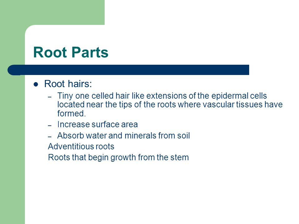 Root Parts Root hairs: – Tiny one celled hair like extensions of the epidermal cells located near the tips of the roots where vascular tissues have formed.