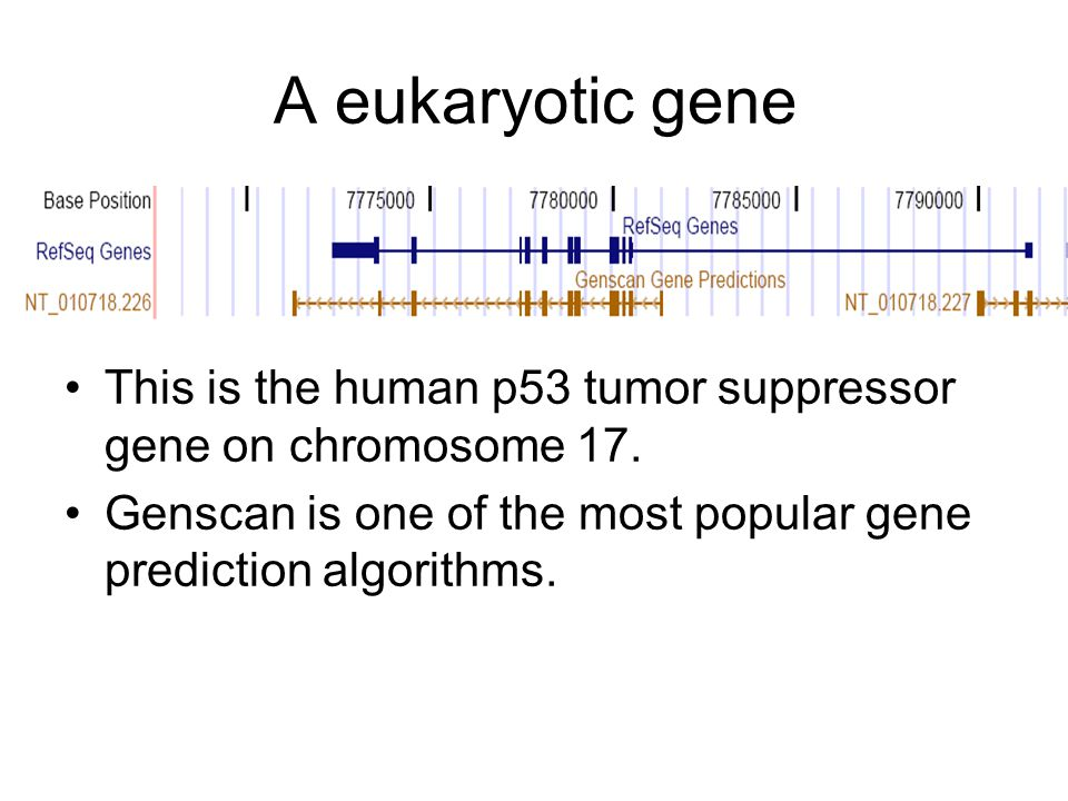 A eukaryotic gene This is the human p53 tumor suppressor gene on chromosome 17.