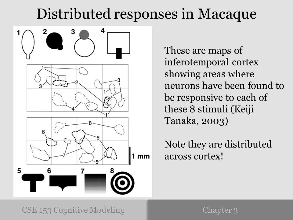 CSE 153 Cognitive ModelingChapter 3 Distributed responses in Macaque These are maps of inferotemporal cortex showing areas where neurons have been found to be responsive to each of these 8 stimuli (Keiji Tanaka, 2003) Note they are distributed across cortex!