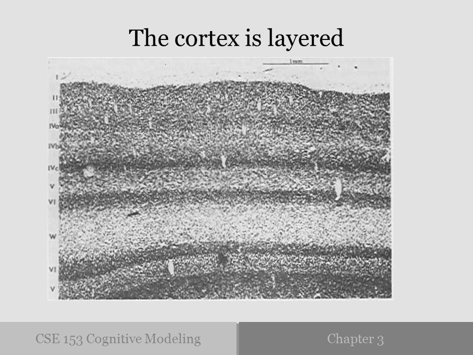 CSE 153 Cognitive ModelingChapter 3 The cortex is layered