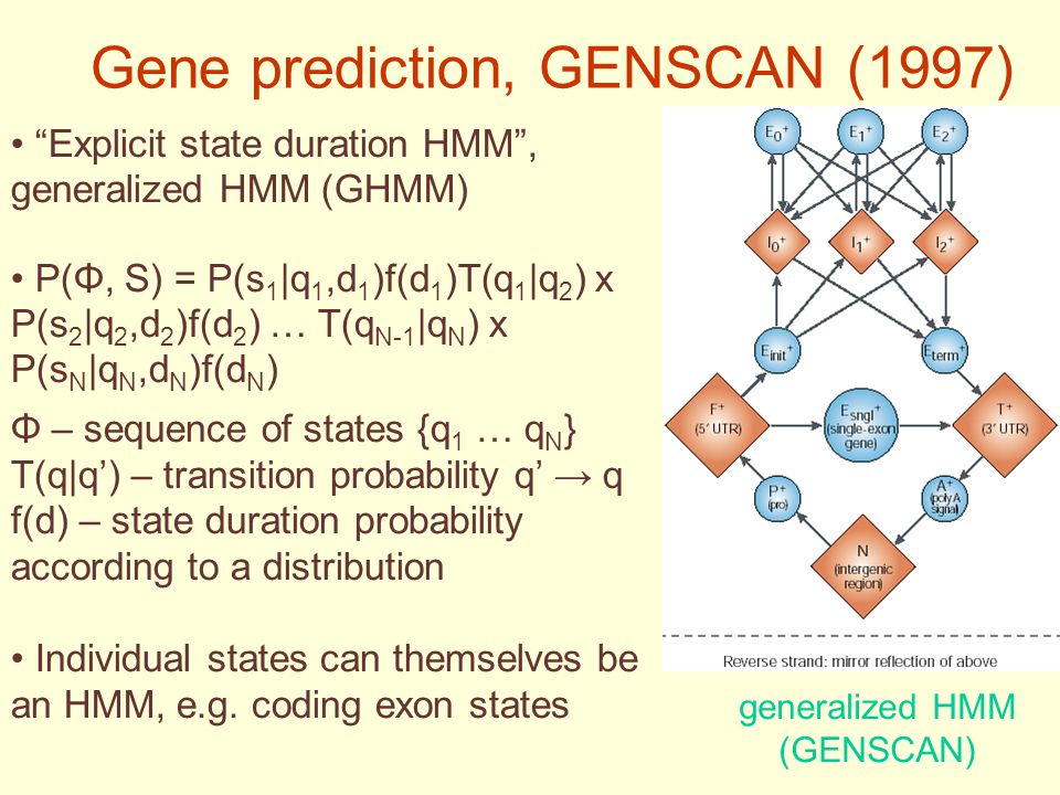 Gene prediction, GENSCAN (1997) Explicit state duration HMM , generalized HMM (GHMM) P(Φ, S) = P(s 1 |q 1,d 1 )f(d 1 )T(q 1 |q 2 ) x P(s 2 |q 2,d 2 )f(d 2 ) … T(q N-1 |q N ) x P(s N |q N,d N )f(d N ) Φ – sequence of states {q 1 … q N } T(q|q') – transition probability q' → q f(d) – state duration probability according to a distribution Individual states can themselves be an HMM, e.g.