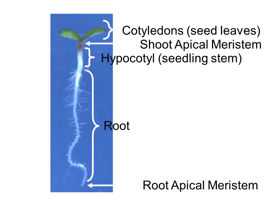 Cotyledons (seed leaves) Shoot Apical Meristem Hypocotyl (seedling stem) Root Root Apical Meristem