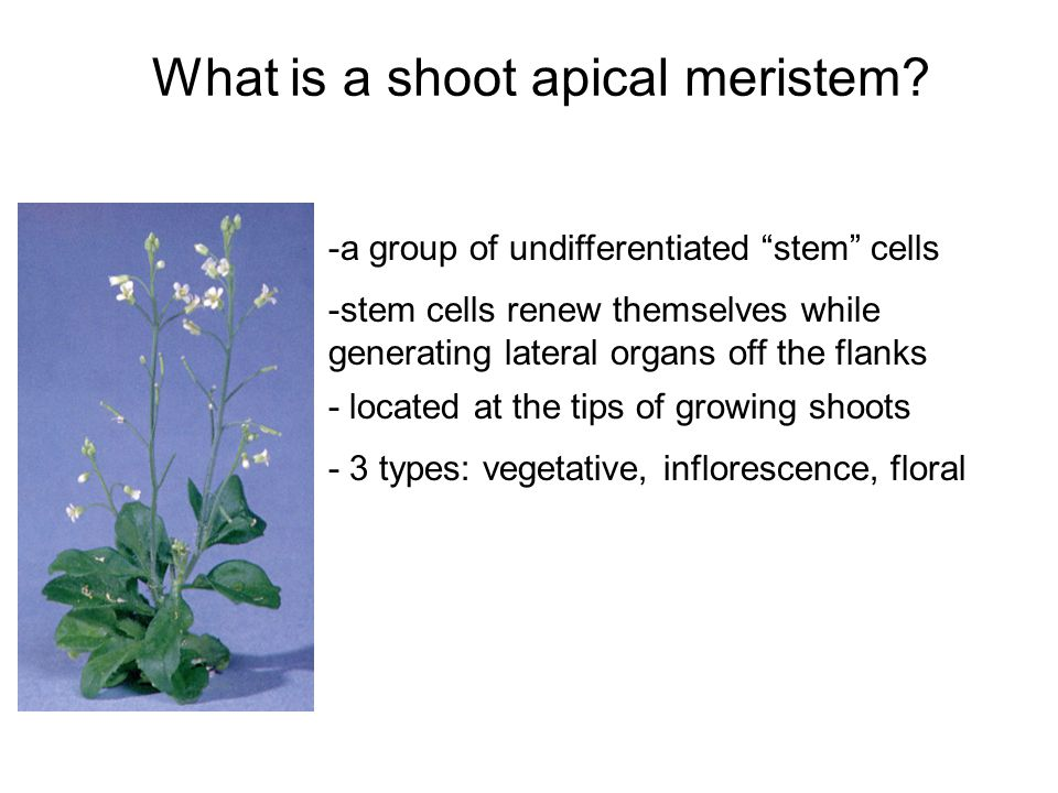 - located at the tips of growing shoots What is a shoot apical meristem.