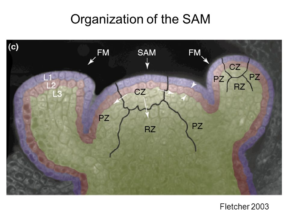 Organization of the SAM Fletcher 2003