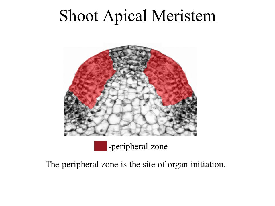 Shoot Apical Meristem -peripheral zone The peripheral zone is the site of organ initiation.