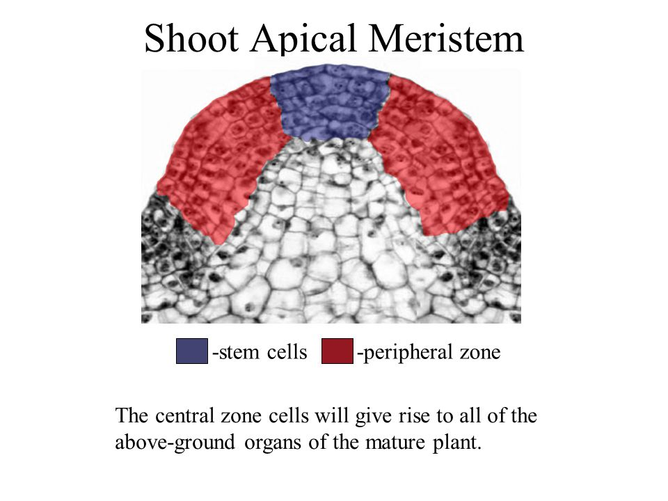 Shoot Apical Meristem -stem cells-peripheral zone The central zone cells will give rise to all of the above-ground organs of the mature plant.