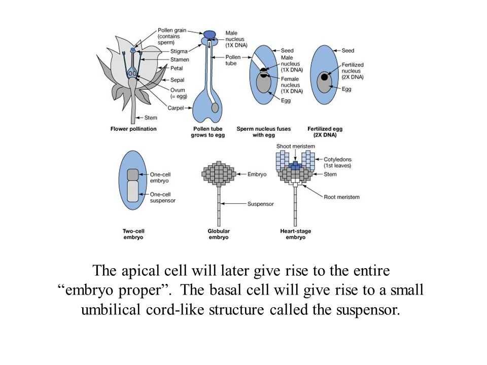The apical cell will later give rise to the entire embryo proper .