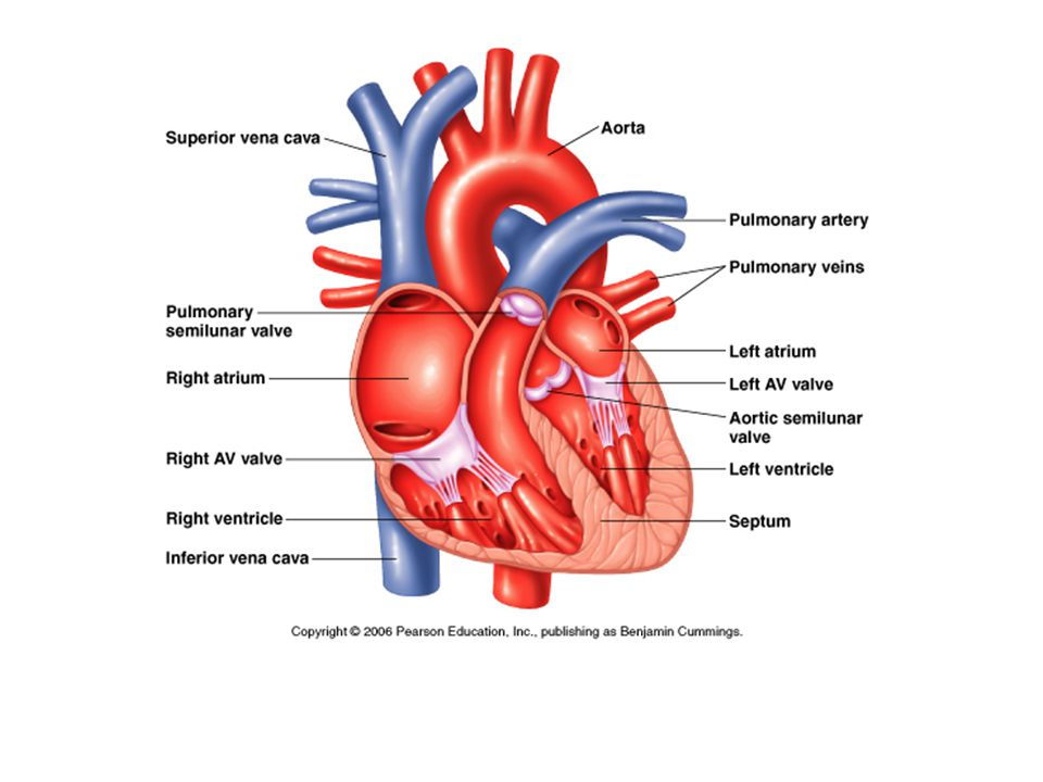 A diagram mammalian heart electrical wiring diagram electrical mechanical activity in the mammalian heart ppt download rh slideplayer com human heart diagram heart ccuart Images