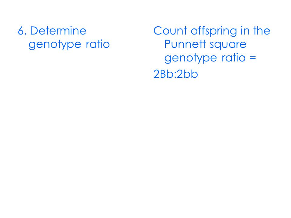 6. Determine genotype ratio Count offspring in the Punnett square genotype ratio = 2Bb:2bb