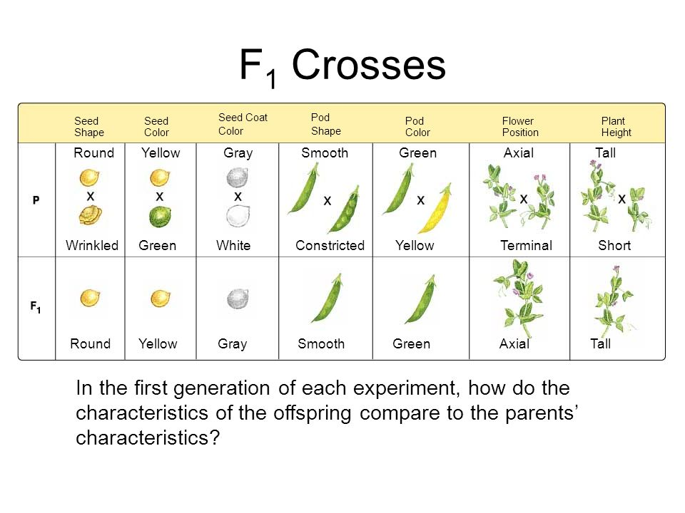 Seed Shape Flower Position Seed Coat Color Seed Color Pod Color Plant Height Pod Shape Round Wrinkled Round Yellow Green Gray White Smooth Constricted Green Yellow Axial Terminal Tall Short YellowGraySmoothGreenAxialTall F 1 Crosses In the first generation of each experiment, how do the characteristics of the offspring compare to the parents' characteristics