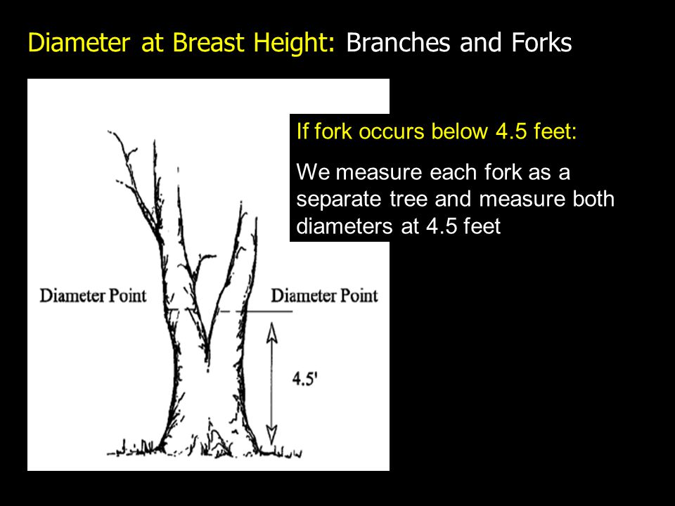 Diameter at Breast Height: Branches and Forks If fork occurs below 4.5 feet: We measure each fork as a separate tree and measure both diameters at 4.5 feet