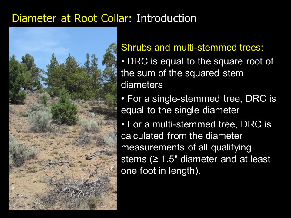 Diameter at Root Collar: Introduction Shrubs and multi-stemmed trees: DRC is equal to the square root of the sum of the squared stem diameters For a single-stemmed tree, DRC is equal to the single diameter For a multi-stemmed tree, DRC is calculated from the diameter measurements of all qualifying stems (≥ 1.5 diameter and at least one foot in length).