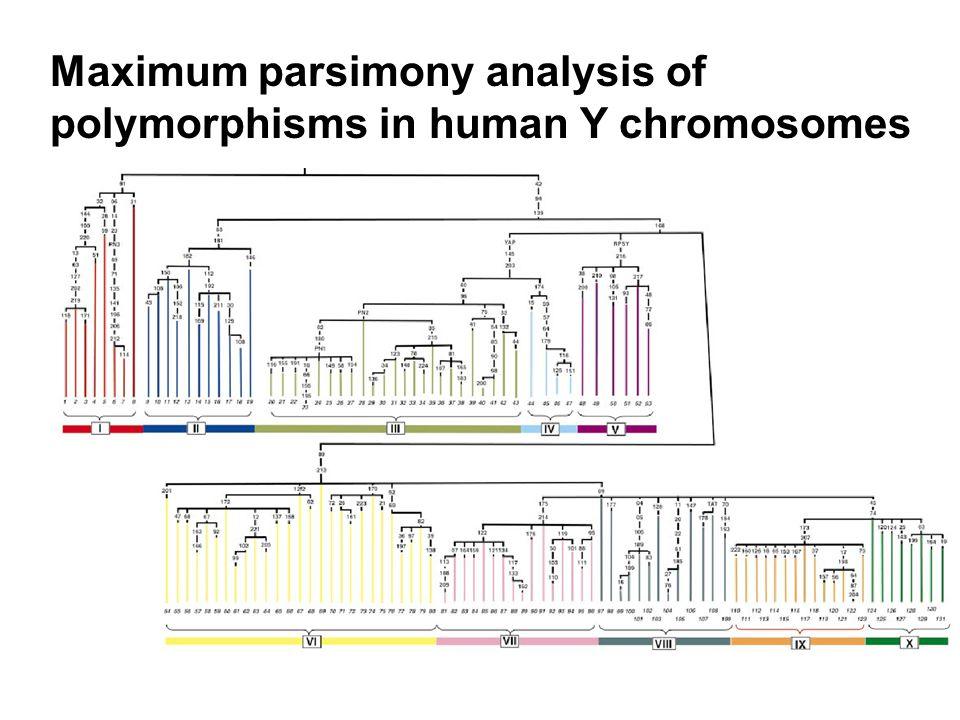 Maximum parsimony analysis of polymorphisms in human Y chromosomes