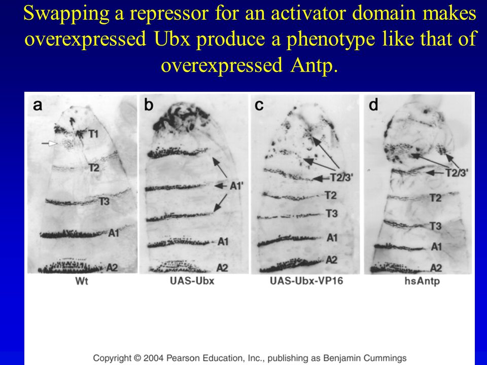 Swapping a repressor for an activator domain makes overexpressed Ubx produce a phenotype like that of overexpressed Antp.