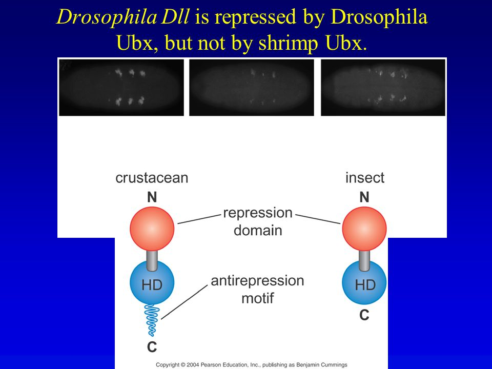 Drosophila Dll is repressed by Drosophila Ubx, but not by shrimp Ubx.