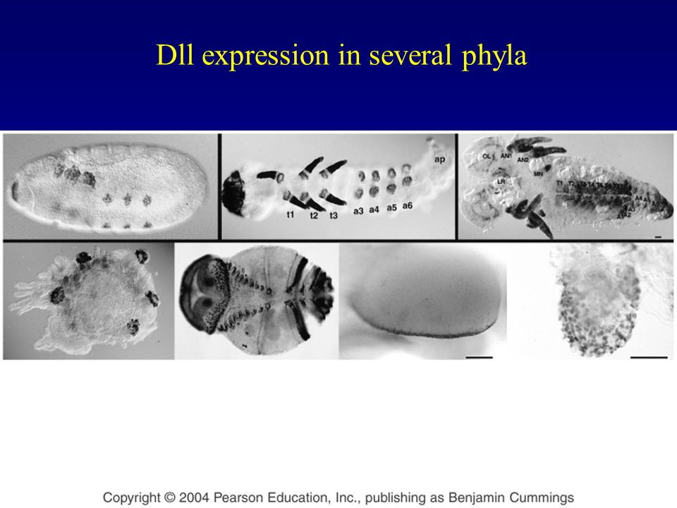 Dll expression in several phyla