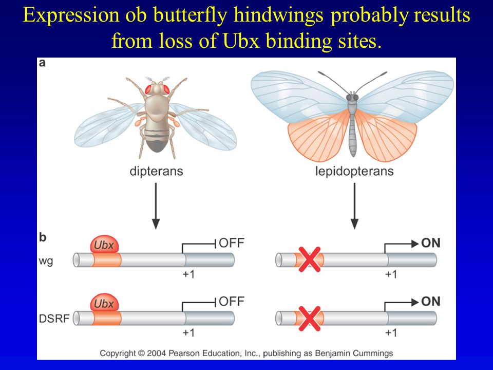 Expression ob butterfly hindwings probably results from loss of Ubx binding sites.
