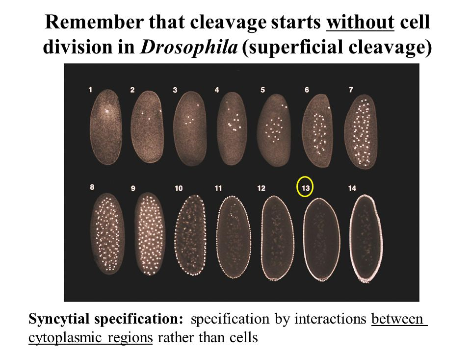 Remember that cleavage starts without cell division in Drosophila (superficial cleavage) Fig.