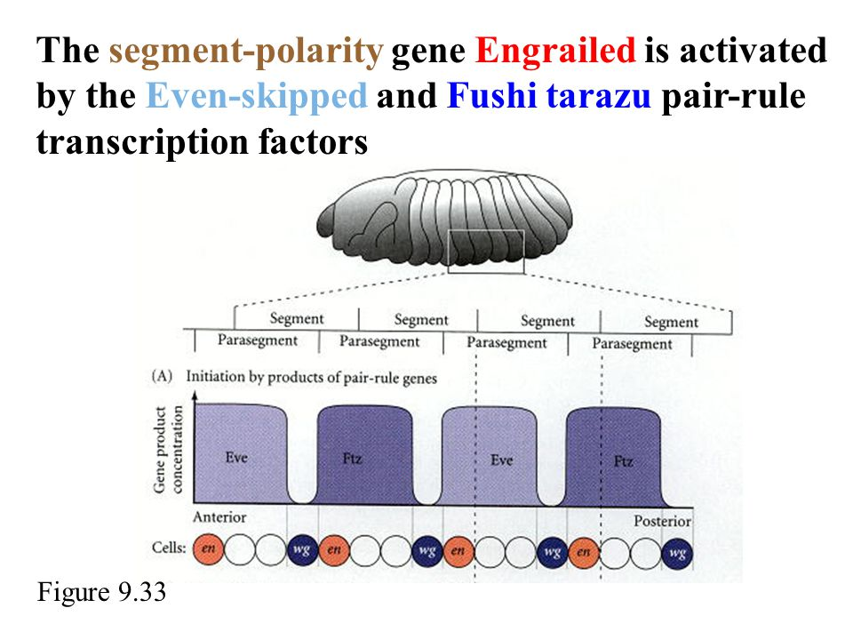 The segment-polarity gene Engrailed is activated by the Even-skipped and Fushi tarazu pair-rule transcription factors Figure 9.33