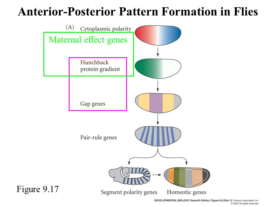 Anterior-Posterior Pattern Formation in Flies Figure 9.17 Maternal effect genes