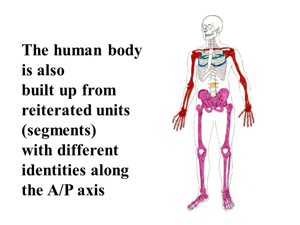The human body is also built up from reiterated units (segments) with different identities along the A/P axis