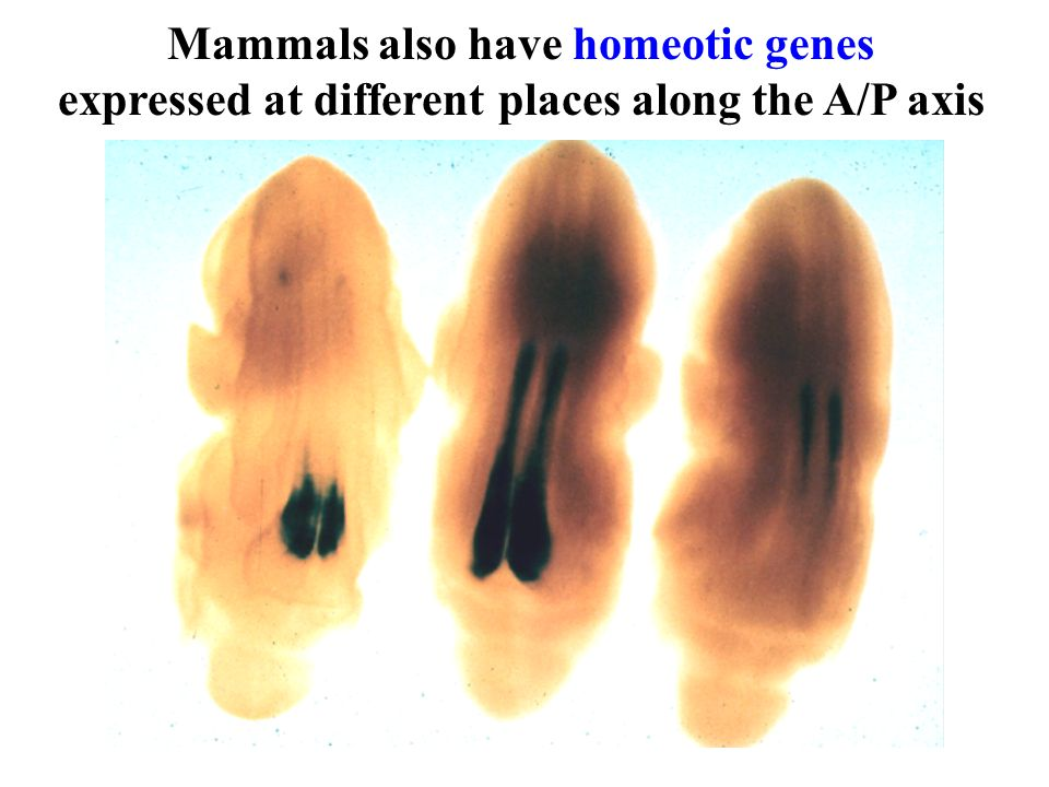 Mammals also have homeotic genes expressed at different places along the A/P axis