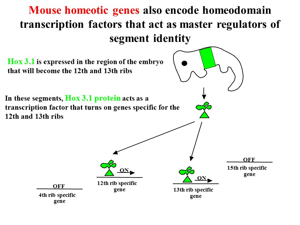 Mouse homeotic genes also encode homeodomain transcription factors that act as master regulators of segment identity Hox 3.1 is expressed in the region of the embryo that will become the 12th and 13th ribs In these segments, Hox 3.1 protein acts as a transcription factor that turns on genes specific for the 12th and 13th ribs 12th rib specific gene 13th rib specific gene 4th rib specific gene 15th rib specific gene OFF ON