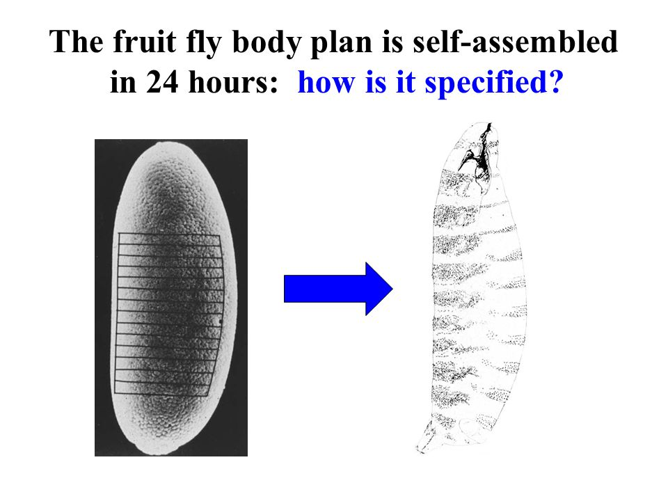The fruit fly body plan is self-assembled in 24 hours: how is it specified