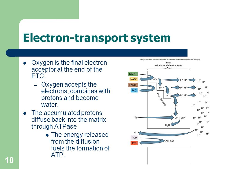 10 Electron-transport system Oxygen is the final electron acceptor at the end of the ETC.