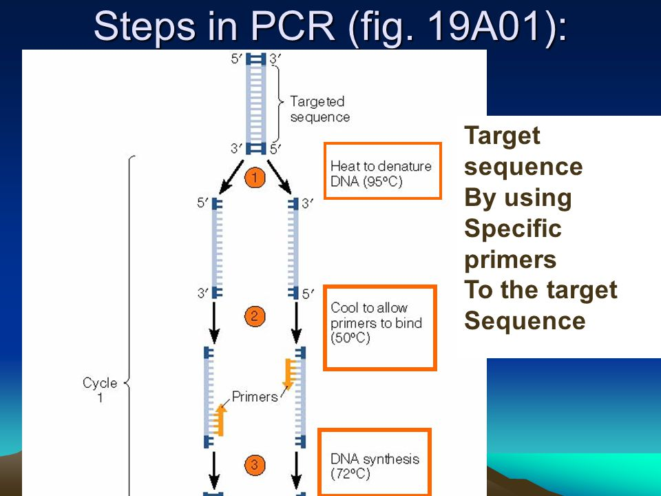 Steps in PCR (fig. 19A01): Target sequence By using Specific primers To the target Sequence