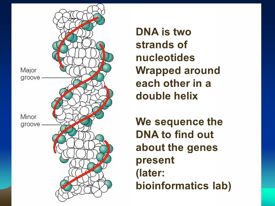DNA is two strands of nucleotides Wrapped around each other in a double helix We sequence the DNA to find out about the genes present (later: bioinformatics lab)