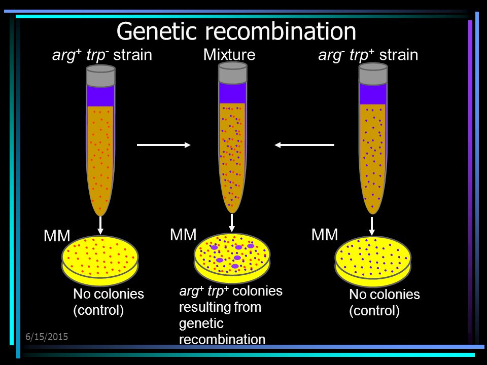 6/15/2015 Genetic recombination arg + trp - strainarg - trp + strainMixture arg + trp + colonies resulting from genetic recombination No colonies (control) MM