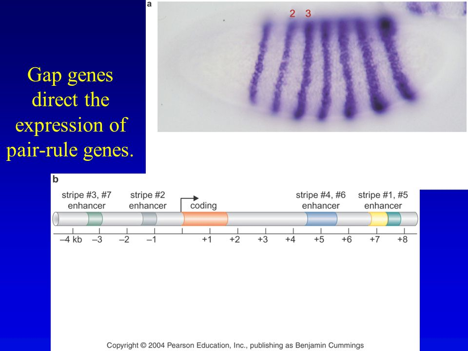Gap genes direct the expression of pair-rule genes.