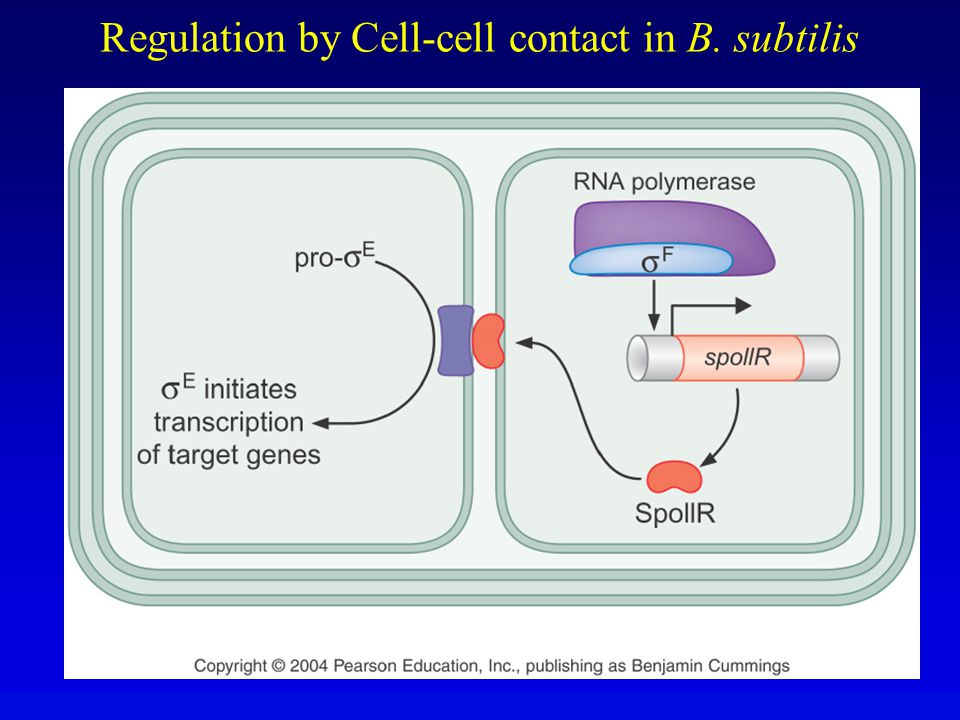 Regulation by Cell-cell contact in B. subtilis