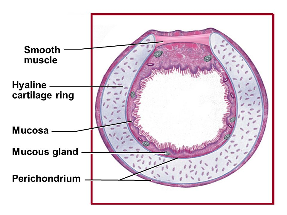 Fig. 23.7c(TE Art) Smooth muscle Hyaline cartilage ring Mucosa Mucous gland Perichondrium