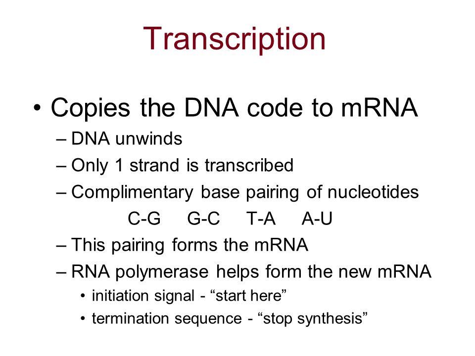 Mrna Strand Nucleotide code to mRNA  DNA unwinds