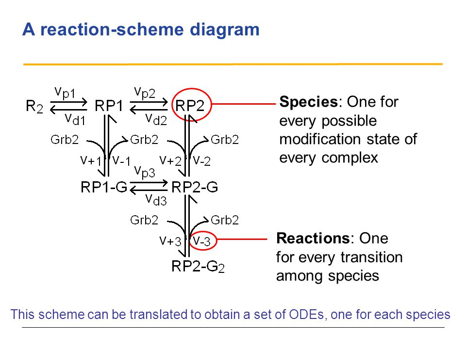 A reaction-scheme diagram Species: One for every possible modification state of every complex Reactions: One for every transition among species This scheme can be translated to obtain a set of ODEs, one for each species