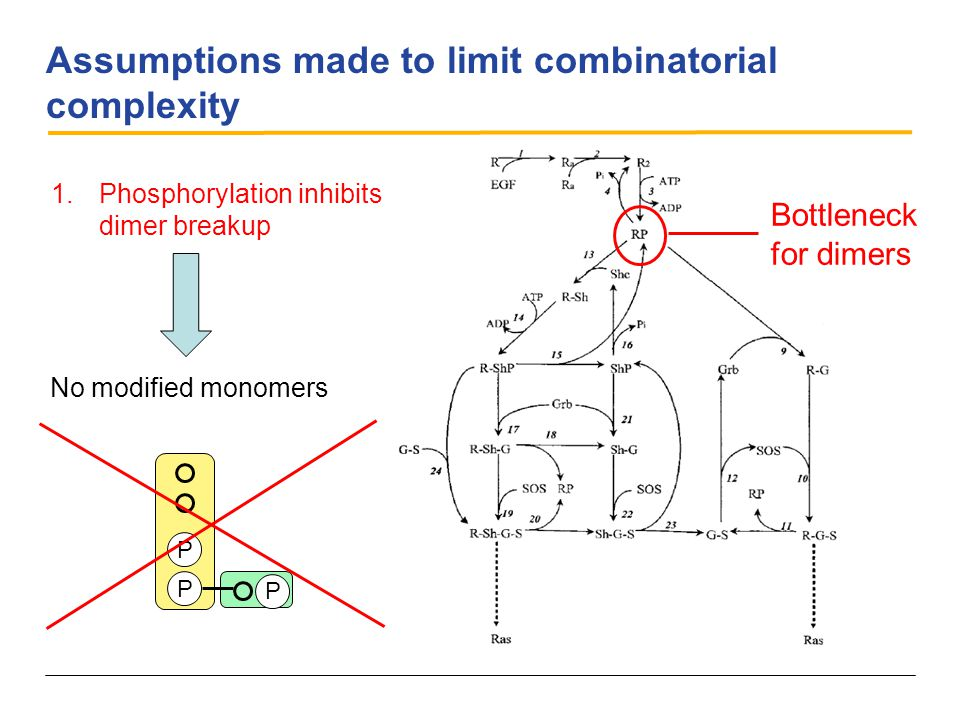 Assumptions made to limit combinatorial complexity 1.Phosphorylation inhibits dimer breakup No modified monomers P P P Bottleneck for dimers