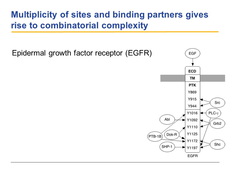 Multiplicity of sites and binding partners gives rise to combinatorial complexity Epidermal growth factor receptor (EGFR)