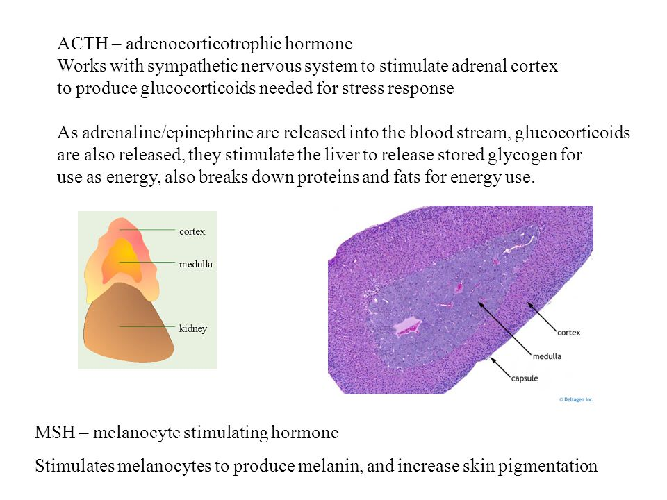 ACTH – adrenocorticotrophic hormone Works with sympathetic nervous system to stimulate adrenal cortex to produce glucocorticoids needed for stress response As adrenaline/epinephrine are released into the blood stream, glucocorticoids are also released, they stimulate the liver to release stored glycogen for use as energy, also breaks down proteins and fats for energy use.