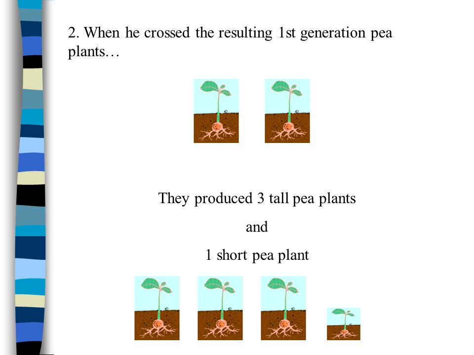 Gregor Mendel's Experiments 1.Mendel crossed a tall pea plant with a short pea plant.