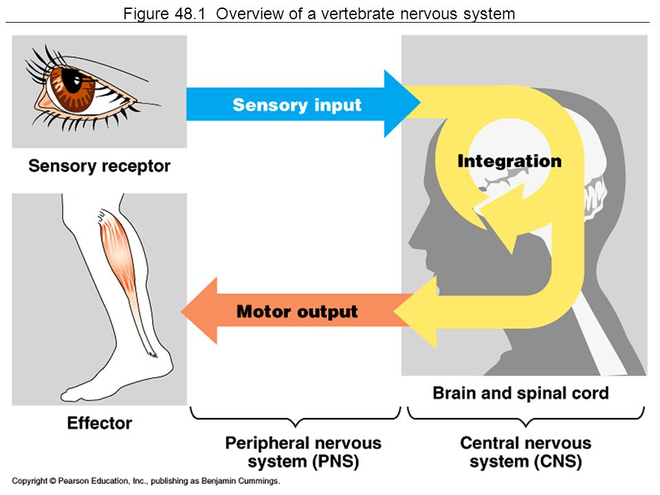 Figure 48.1 Overview of a vertebrate nervous system
