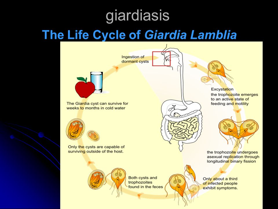 giardiasis The Life Cycle of Giardia Lamblia