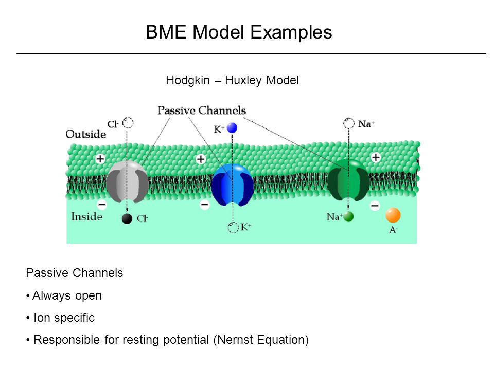 BME Model Examples Hodgkin – Huxley Model Passive Channels Always open Ion specific Responsible for resting potential (Nernst Equation)