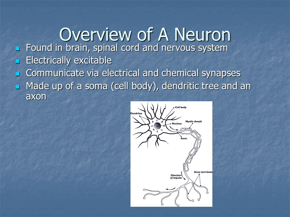 Overview of A Neuron Found in brain, spinal cord and nervous system Found in brain, spinal cord and nervous system Electrically excitable Electrically excitable Communicate via electrical and chemical synapses Communicate via electrical and chemical synapses Made up of a soma (cell body), dendritic tree and an axon Made up of a soma (cell body), dendritic tree and an axon